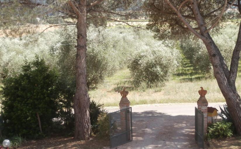 l'uliveto dell'azienda agricola biologica Poggio Sassineri si estende davanti alla casa padronale e lo si può ammirare dall'alto.