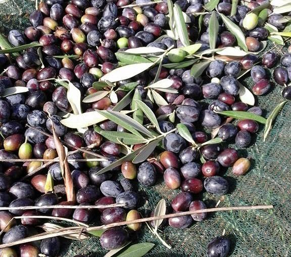 """L'azienda agricola Poggio Sassineri, produce un olio extravergine d'oliva biologico di qualità. L'olio """"poggio Sassineri"""" viene venduto tramite vendita diretta ."""